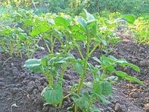 Batatas crescentes no jardim Fotos de Stock Royalty Free