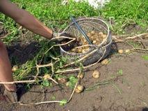 Batatas da colheita Foto de Stock Royalty Free