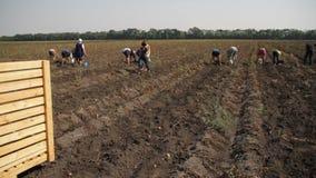 Batatas da colheita com povos video estoque