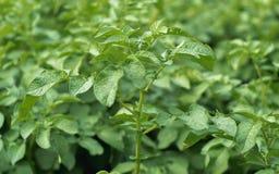 Batatas da planta em um dia brilhante fotos de stock royalty free