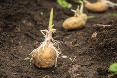 Batatas da sementeira Imagem de Stock