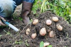Batatas de escavação Foto de Stock Royalty Free