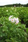 Batatas de florescência Imagens de Stock Royalty Free