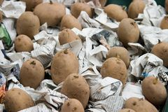 Batatas de semente Chitting no jornal fotografia de stock royalty free