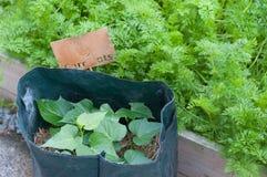 Batatas doces que crescem nos sacos Imagens de Stock Royalty Free