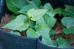 Batatas doces que crescem nos sacos Fotografia de Stock
