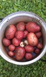 Batatas e alho Foto de Stock