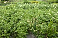 Batatas e cebolas Imagens de Stock