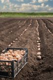 Batatas frescas em uma caixa de madeira na terra Imagens de Stock