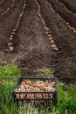 Batatas frescas em uma caixa de madeira na terra Fotos de Stock Royalty Free