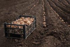 Batatas frescas em uma caixa de madeira na terra Fotos de Stock