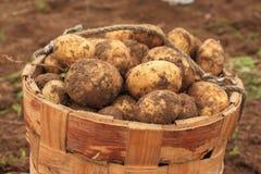 Batatas frescas na cesta de vime da casca de vidoeiro Imagem de Stock
