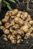 Batatas na terra Foto de Stock Royalty Free