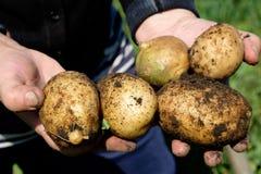 Batatas nas mãos Imagens de Stock