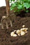 Batatas no solo Imagem de Stock Royalty Free