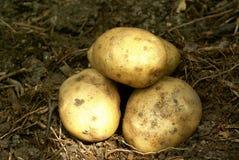 Batatas novas Fotografia de Stock