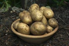Batatas novas Imagem de Stock