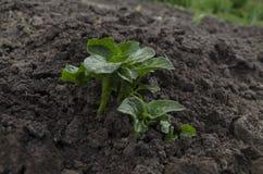 Batatas novas crescentes no jardim Fotos de Stock Royalty Free