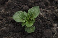 Batatas novas crescentes no jardim Imagem de Stock