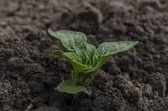 Batatas novas crescentes no jardim Fotografia de Stock