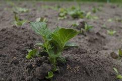 Batatas novas crescentes no jardim Foto de Stock