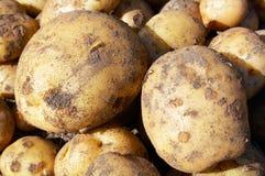 Batatas novas cruas Fotografia de Stock