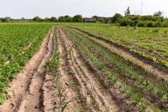 Batatas que crescem no jardim Imagem de Stock