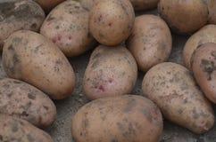 Batatas recentemente escavadas Imagem de Stock Royalty Free