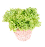 Batavia lettuce. A big bunch of hydroponically grown fresh organic green Batavia lettuce in a basket. Image isolated on white studio background Royalty Free Stock Image