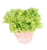Batavia lettuce Royalty Free Stock Image