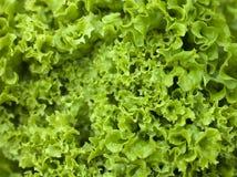 Free Batavia Lettuce Royalty Free Stock Image - 7229746