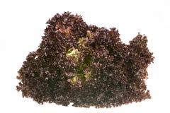 Batavia Lettuce Stock Image