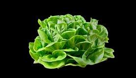 Batavia lettuce. Stock Image