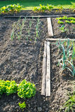 Batavia lettuce and leek plants Stock Photo