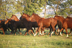 Batch of beautiful horses running across on pasturage Stock Photo