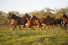 Batch of beautiful horses running across on pasturage Royalty Free Stock Image