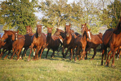 Batch of beautiful horses running across on pasturage Stock Images