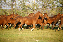 Batch of beautiful horses running across on pasturage Royalty Free Stock Photo