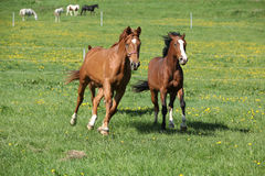 Batch of beautiful horses running on pasturage Stock Photo