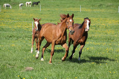 Batch of beautiful horses running on pasturage Royalty Free Stock Image