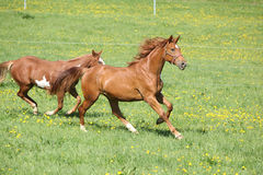 Batch of beautiful horses running on pasturage Stock Image