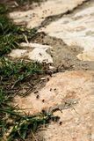 A batch of black ants are following one another and slowly marching towards their food. Ants are walking on a broken cement terra stock photography