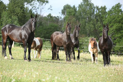 Batch of black horses on pasturage Royalty Free Stock Photography