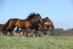 Batch of brown horses moving in pasturage Stock Photo