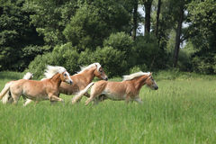 Batch of chestnut horses running in freedom Stock Photo