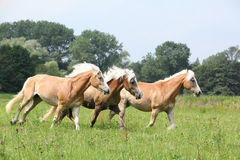Batch of chestnut horses running together in freedom. In front of some trees stock photos