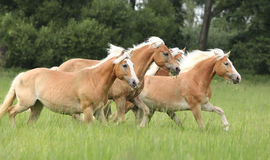 Batch of chestnut horses running together in freedom. In high grass royalty free stock image