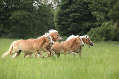 Batch of chestnut horses running together in freedom. In high grass royalty free stock images