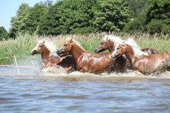 Batch of chestnut horses running in water Royalty Free Stock Images
