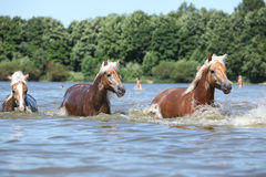 Batch of chestnut horses running in water Stock Photo